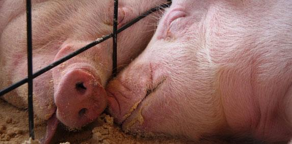 Annulé - Journée porcine du CRP