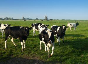 Vaches laiti�res : Faut-il toujours courir apr�s la f�condit� ?